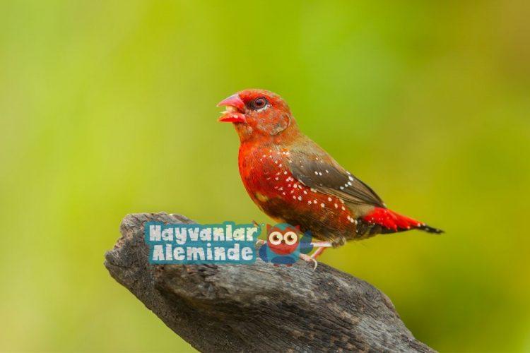 Kırmızı Mumgaga Kuşu