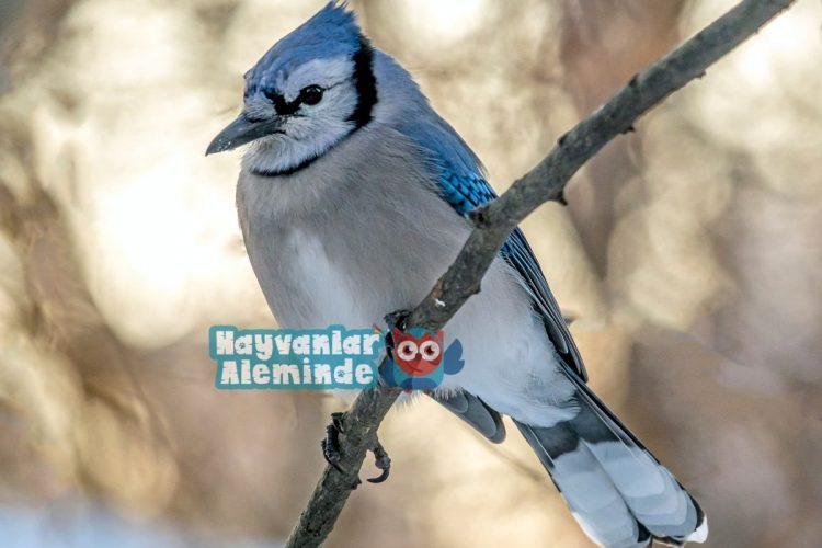 Mavi Alakarga dünyanın en güzel kuşları