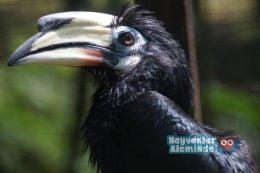 Boynuzgaga Kuşu Özellikleri ve Yaşamı
