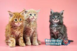 10 En Uysal Kedi Cinsi