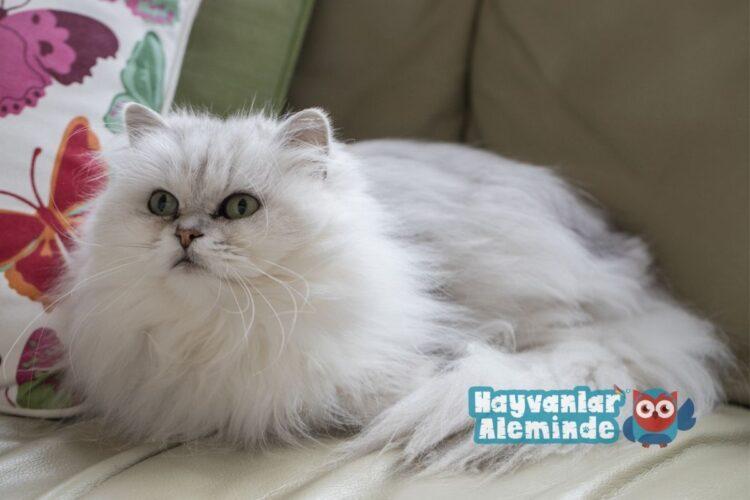 en uysal kedi cinsleri