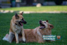 Köpeklerde Protein Fazlalığı (Paraproteinemi)