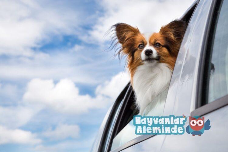köpekleri arabaya alıştırmak
