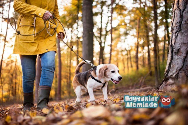 köpekleri yürüyüşe çıkarmanın faydaları