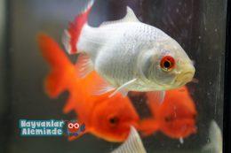 Süs Balığı İsimleri Listesi