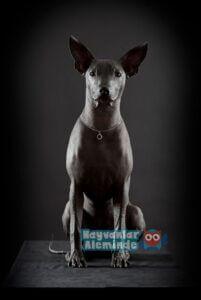 tüysüz köpek türleri