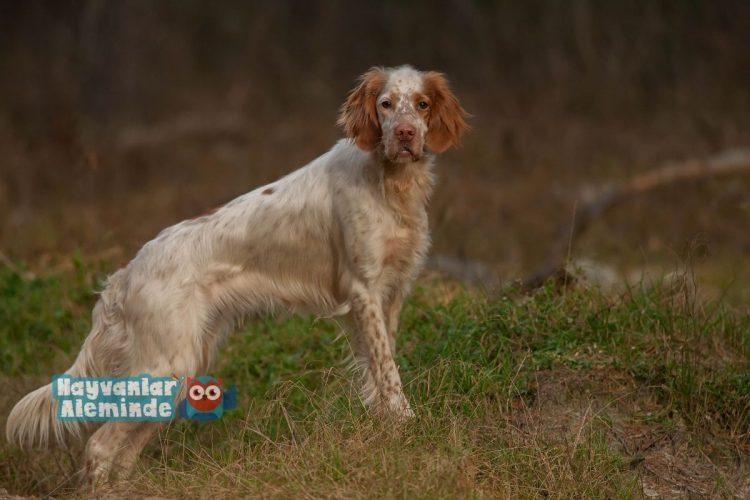 İngiliz setter cinsi köpek