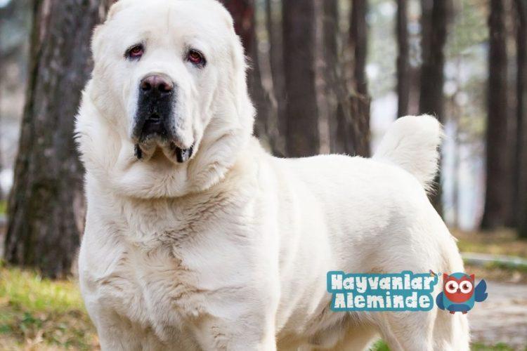 alabay cinsi köpek sağlığı