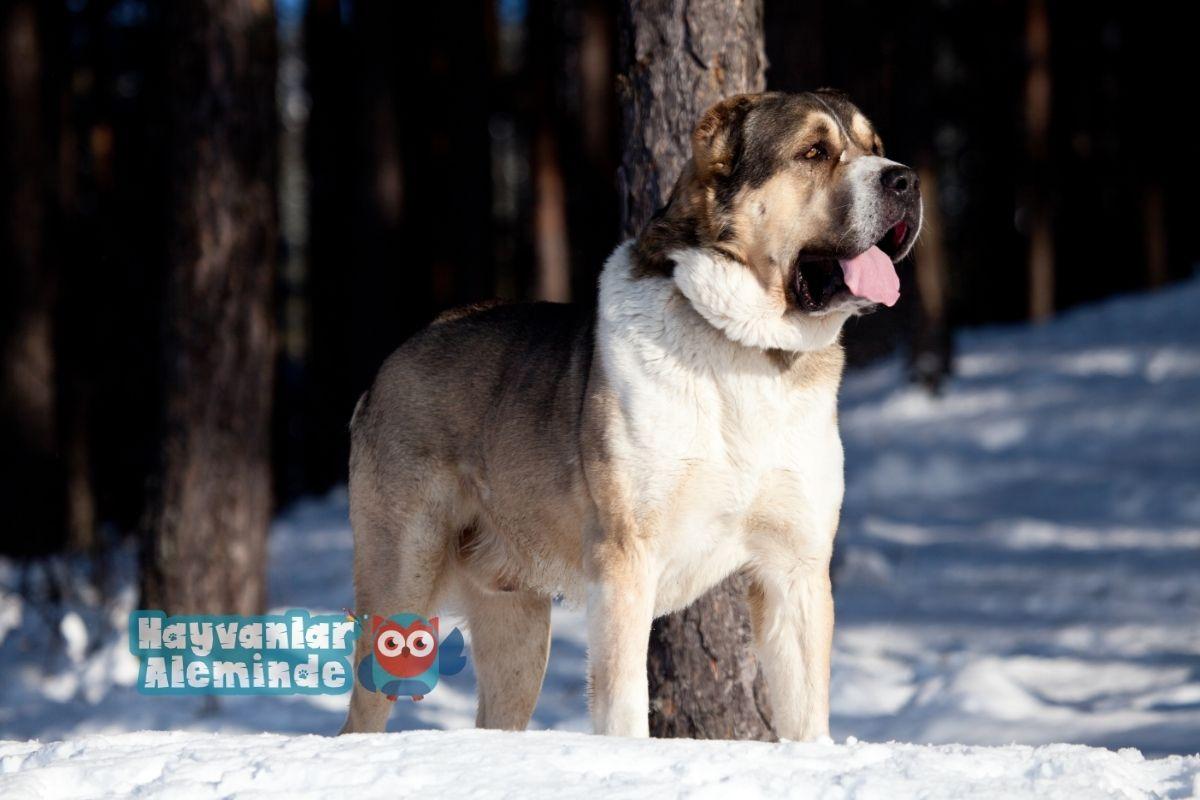 alabay köpek cinsi