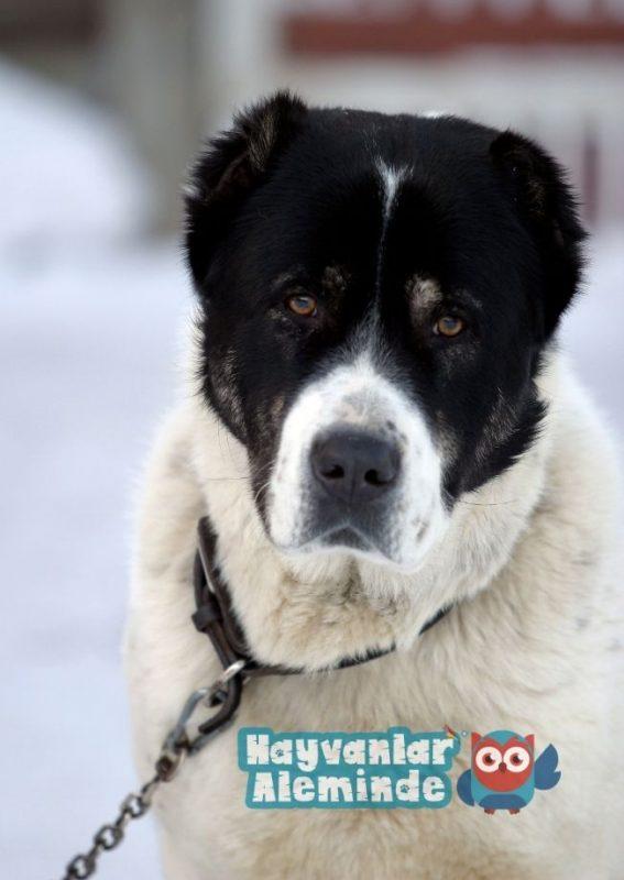 alabay köpek eğitimi