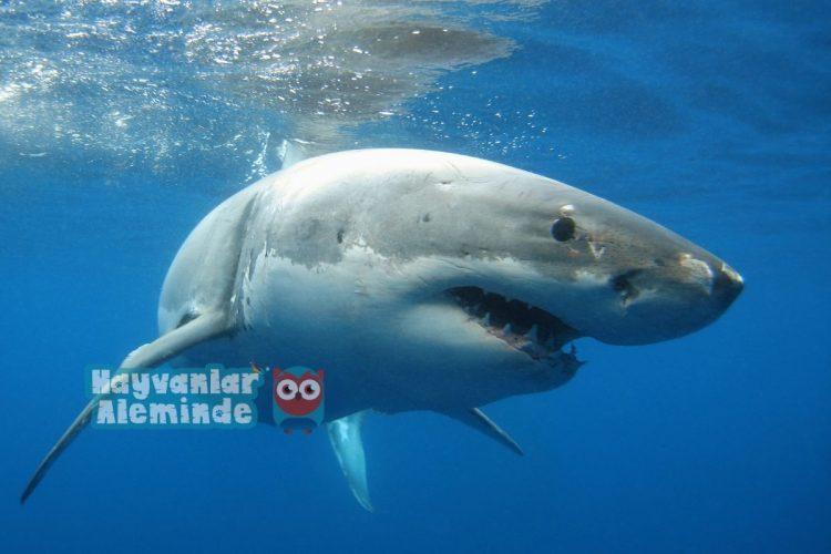 beyaz köpek balığı