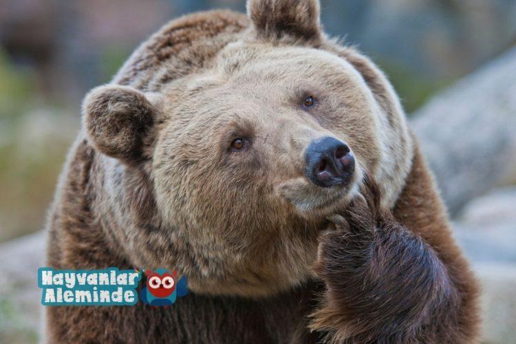 boz ayı dünyanın en güçlü hayvanı