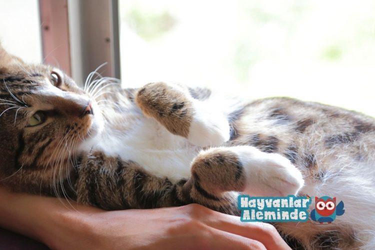 en sıcakkanlı kedi cinsleri - tekir