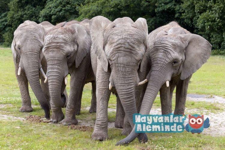 Filler - dünyadaki en güçlü 10 hayvan
