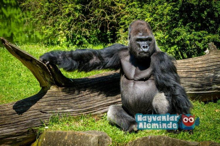 goril - dünyanın en güçlü hayvanı