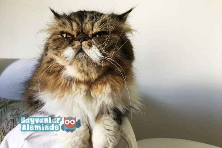 sıcakkanlı kediler - himalayan