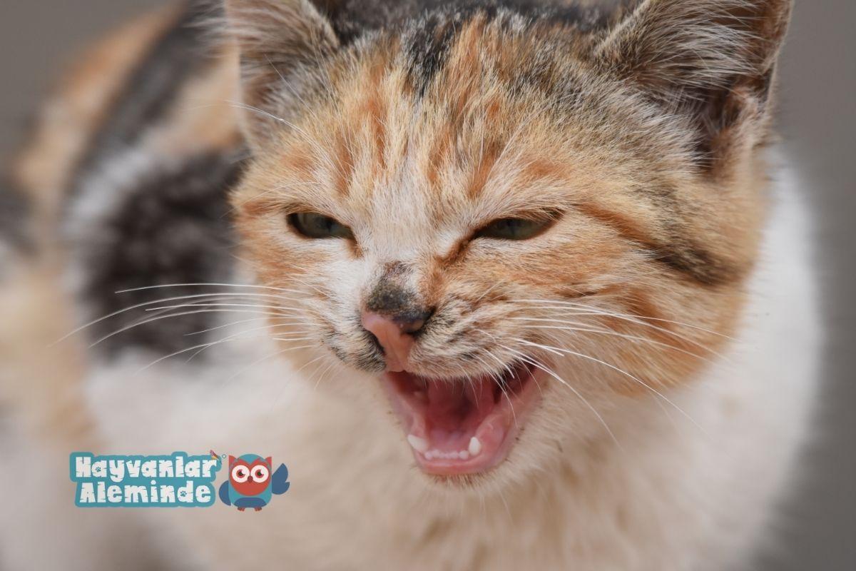 kediler neden hırlar
