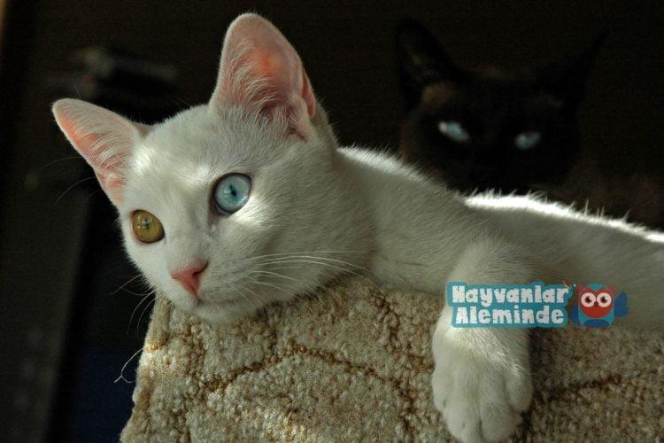 sıcakkanlı van kedisi