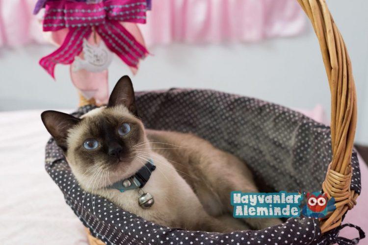 siyam kedisi - en sıcakkanlı kedi cinsleri