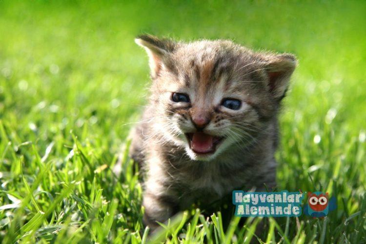 yavru kedi hırlaması