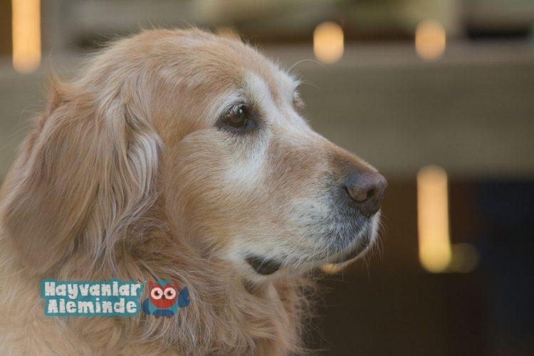 en az havlayan köpek cinsleri - Golden Retriever
