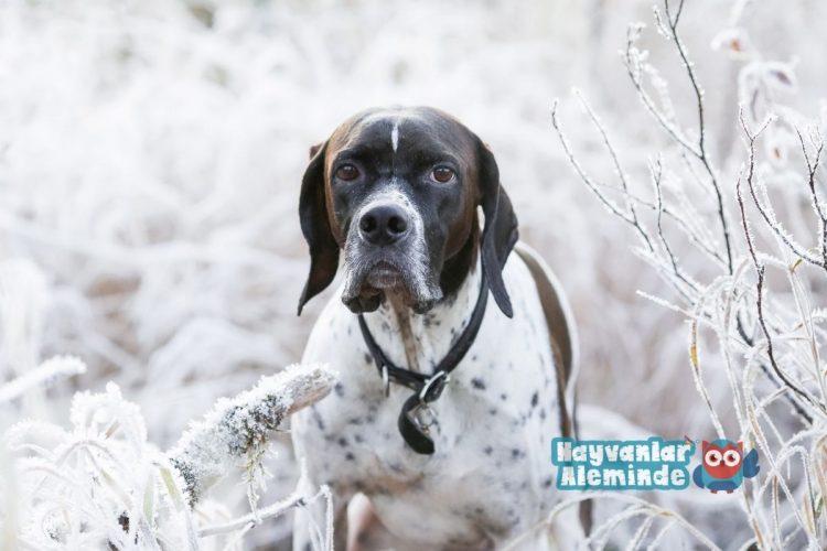 İngiliz av köpeği