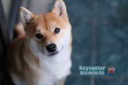 En Az Havlayan Köpek Cinsleri – Havlamayan Köpek Irkları