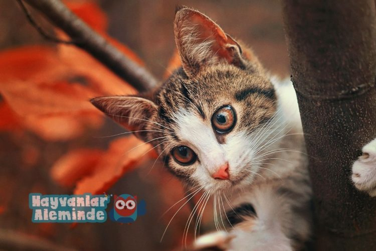 kedi yaşı hesaplaması