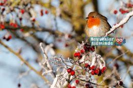 Kızılgerdan Kuşu (Nar Bülbülü) Hikâyesi ve Özellikleri