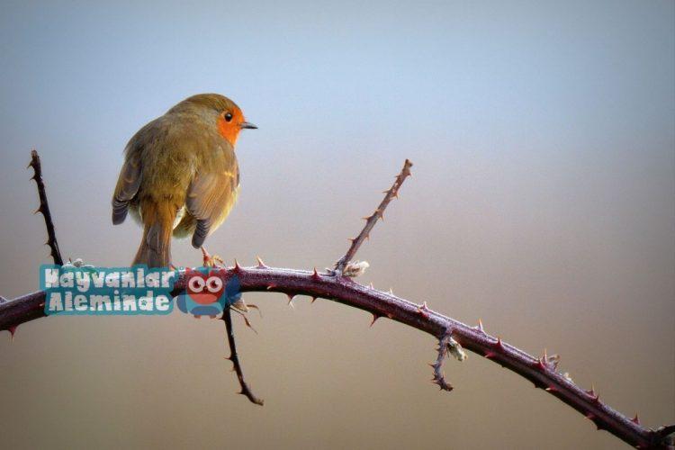 kızılgerdan kuşu hikayesi