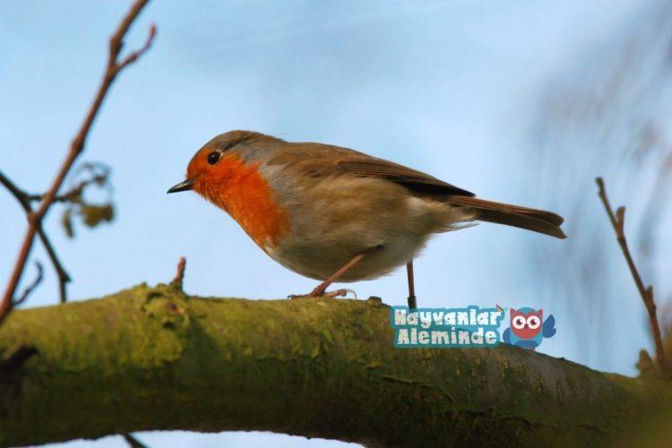 kızılgerdan kuşu nerede yaşar