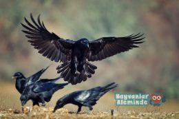 Kuzgun Kuşu Özellikleri, Efsanesi ve Anlamı