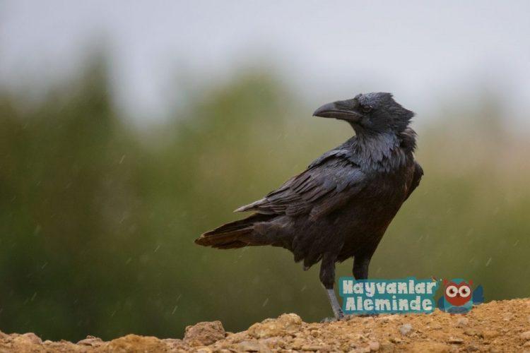 kuzgun kuşu karakteri