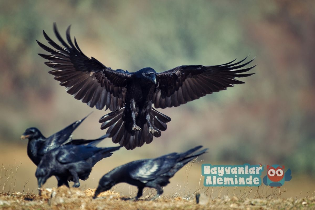 kuzgun kuşu