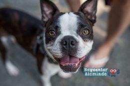 Boston Terrier Özellikleri, Bakımı Boyu ve Kilosu