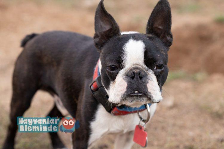 boston terrier bakımı