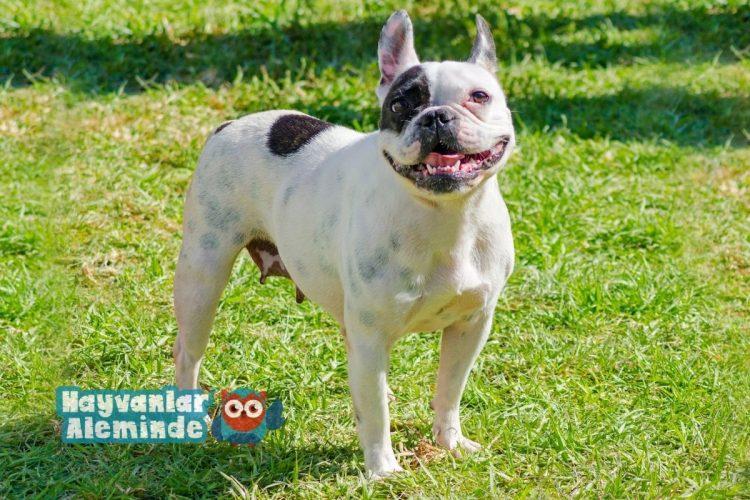 boston terrier boyu ve kilosu