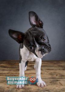 boston terrier cinsi özellikleri
