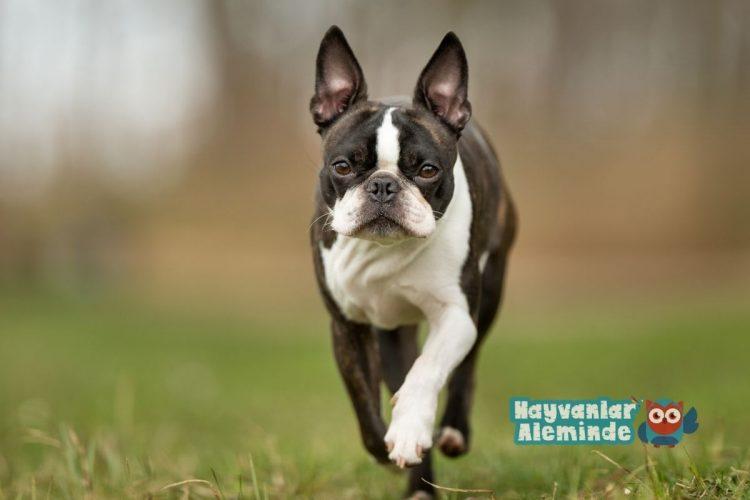 boston terrier özellikleri