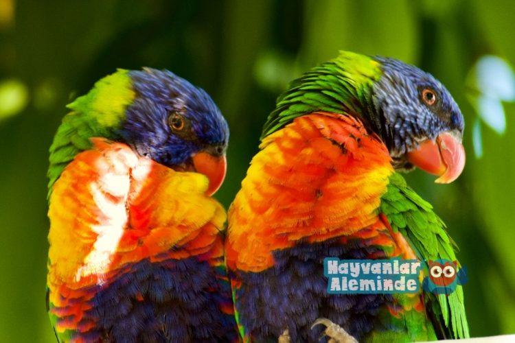 Gökkuşağı Lori Papağanı Bakımı
