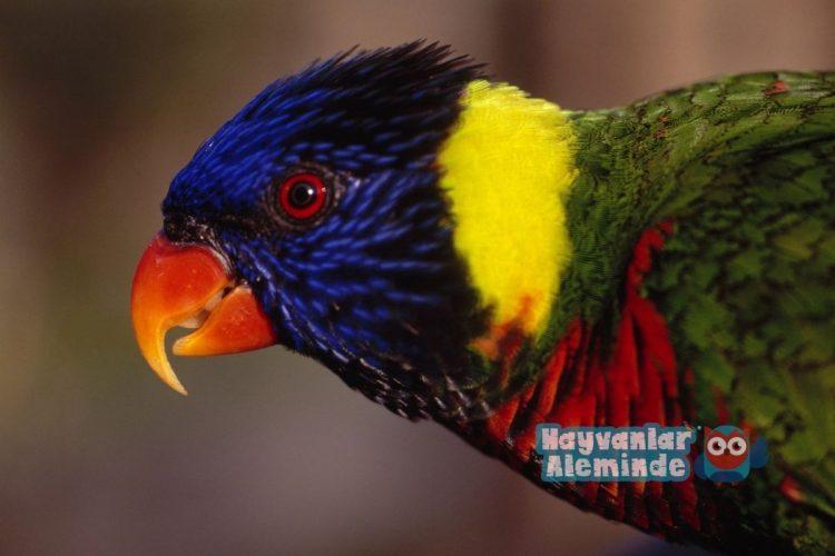 Gökkuşağı Lori Papağanı özellikleri