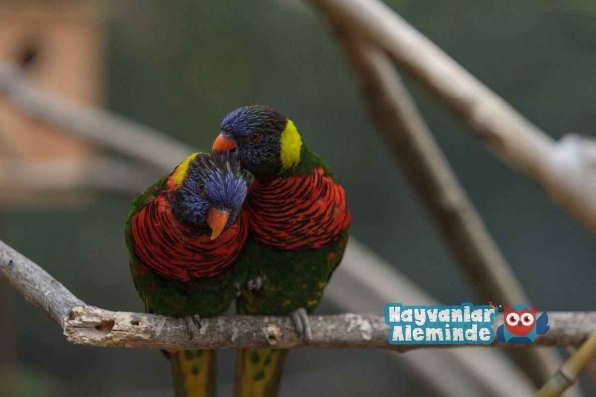 Gökkuşağı Lori Papağanı