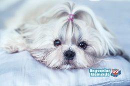 Shih Tzu Köpek Cinsi Özellikleri, Bakımı ve Sağlığı