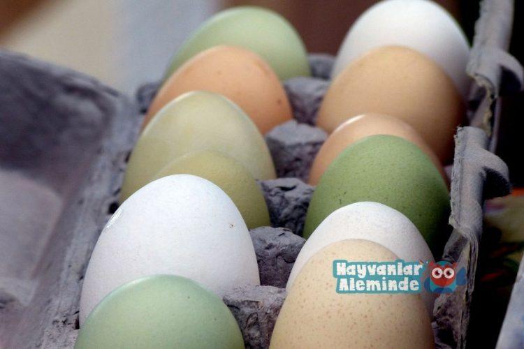 Yeşil Yumurtlayan Tavuk Cinsleri