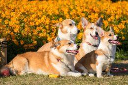 Pembroke Welsh Corgi Köpek Cinsi Özellikleri, Karakteri, Bakımı ve Sağlığı