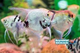 Melek Balığı Türleri, Bakımı, Akvaryumu, Cinsiyet ayrımı