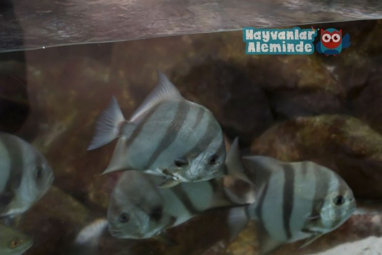 melek balığı türleri