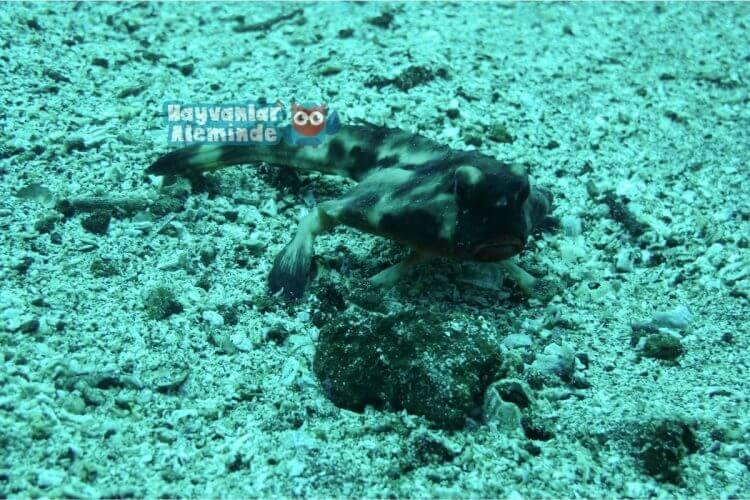 Kırmızı Dudaklı Yarasa Balığı Özellikleri