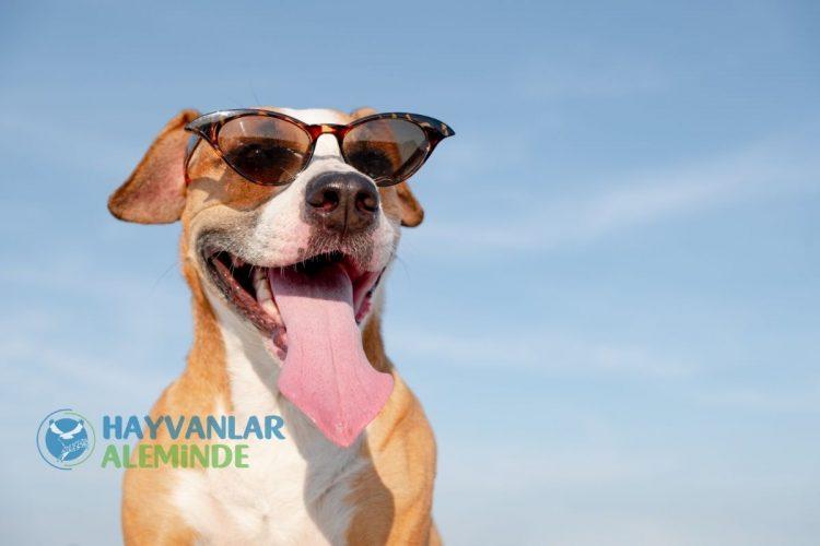 Köpekler Sıcaktan Etkilenir Mi