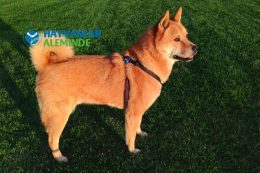 Köpeklerin Kuyruk Hareketleri ve Anlamları